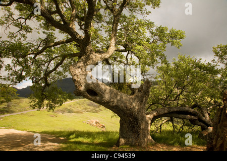 CALIFORNIA - Venerable old oak tree along Figueroa Mountain Road in the Los Padres National Forest. - Stock Photo