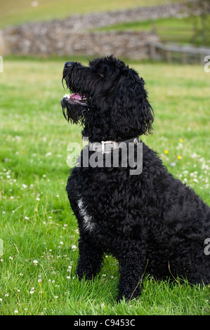 Labradoodle dog sitting waiting for command. - Stock Photo