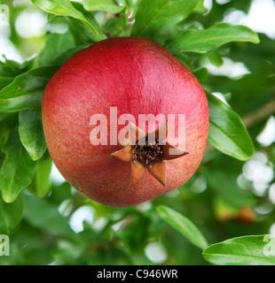 Ripe pomegranate on a tree. - Stock Photo