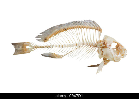 Fish bone isolated on white background - Stock Photo