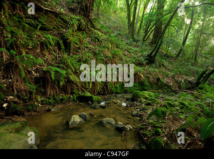 A remote prehistoric rain forest with large ferns, located in California - Stock Photo