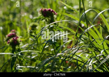 Sweet William (Dianthus barbatus) flowers in the grass - Stock Photo