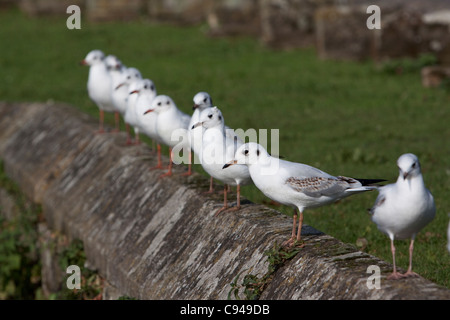 A line of Black headed gulls perched on a stone wall - Stock Photo
