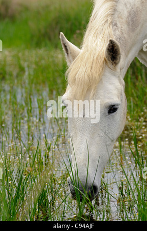 Camargue horse feeding on plants in a swamp area, Camargue, France - Stock Photo
