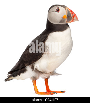 Atlantic Puffin or Common Puffin, Fratercula arctica, in front of white background - Stock Photo