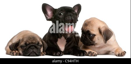 French Bulldog puppy yawning between two Pug puppies, 8 weeks old, in front of white background - Stock Photo