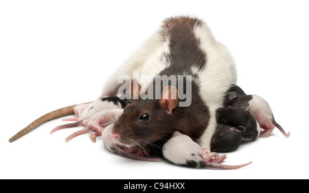 Fancy Rat feeding its babies in front of white background - Stock Photo