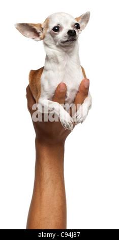 Hand holding Chihuahua puppy, 6 months old, in front of white background - Stock Photo