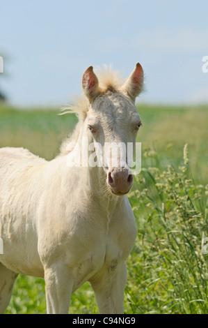 Connemara pony BEC colt foal - Stock Photo