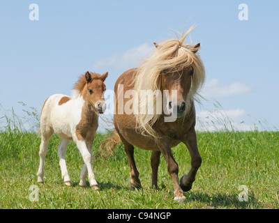 Shetland Pony mare and her foal - Stock Photo