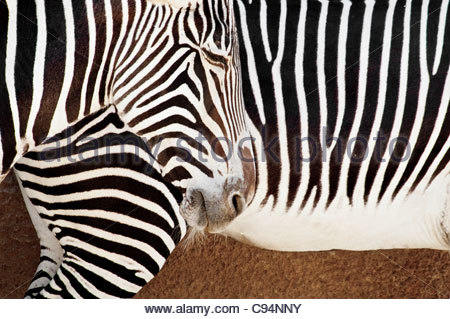 Close-up of Zebra Pattern, Grevy's Zebra, Equus grevyi, Los Angeles Zoo, Los Angeles, California, USA - Stock Photo