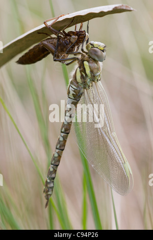 Female Common Hawker (Aeshna juncea) emerged from exuvia - Stock Photo