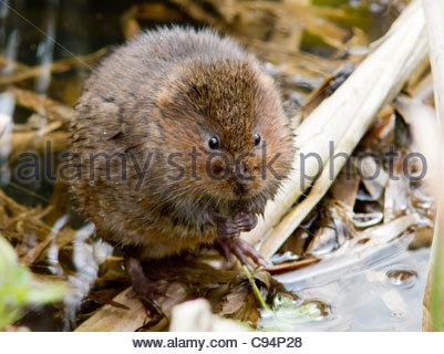 Water Vole (Arvicola terrestris) feeding - Stock Photo