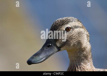 Female Mallard (Anas platyrhynchos) head side - Stock Photo
