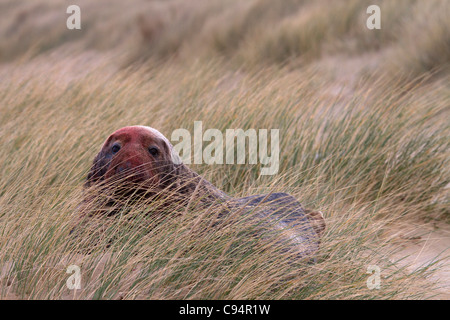 Grey Seal, Halichoerus grypus bull in sand dunes - Stock Photo