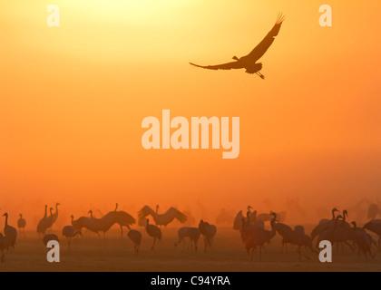 Common Cranes with dawn (Grus grus) - Stock Photo