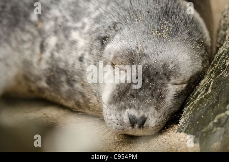 A young Female Grey Seal sleeps on a secluded beach in Cornwall - Stock Photo