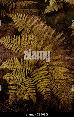A yellowing bracken frond in the forest - Stock Photo