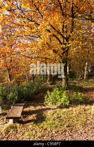 Common Beech and English Oak Trees in Full Autumn Colours in Woodland Above Windermere Lake District National Park - Stock Photo