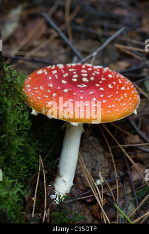 Amanita muscaria, commonly known as the fly agaric or fly Amanita - Stock Photo