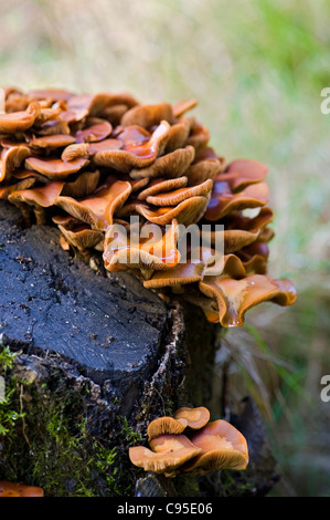 Orange clumps of bracket -shaped fungus - polypore fungi growing on a decaying mossy tree stump. - Stock Photo