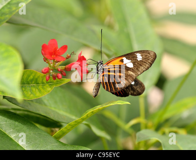 butterfly Heliconia hecale sitting on a flower - Stock Photo