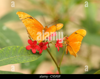 yellow tropical butterflys ,Julia Longwing , on the red flowers - Stock Photo