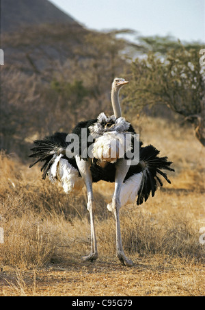 Male Somali Ostrich with plumage extended in mating dance to attract female Samburu National Reserve Kenya - Stock Photo