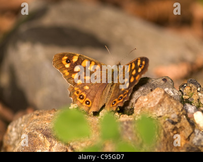 Speckled wood, Pararge aegeria, male resting on floor with nice out of focus background - Stock Photo