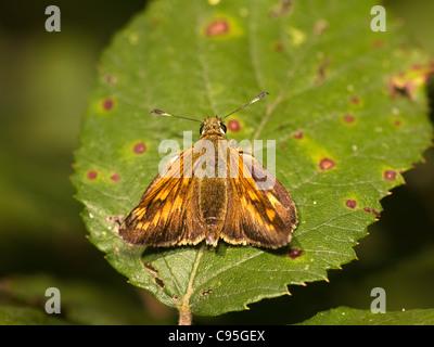 Large skipper, Ochlodes venatus, resting in a leaf. - Stock Photo