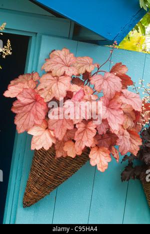 Heuchera in pot container garden hanging on blue wall house, orange leaves striking wicker distinctive leaves perennial - Stock Photo