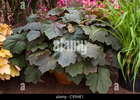Heuchera 'Brownies' in pot container with large dark purple black brown foliage, perennial shade garden plant - Stock Photo