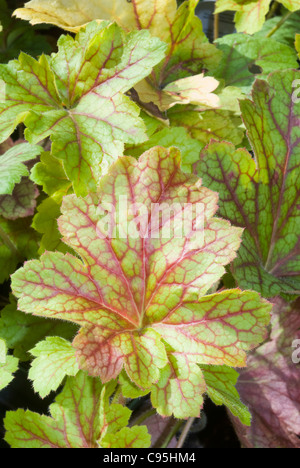 Heuchera 'Electric Lime' in autumn fall, perennial foliage plant with prominent red veins & green leaves for shade - Stock Photo