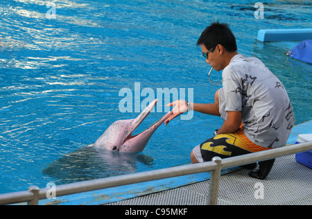bottlenosed dolphin, common bottle-nosed dolphin (Tursiops truncatus) - Stock Photo