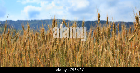 Image of a cereals field in a hot sunny summer day. - Stock Photo
