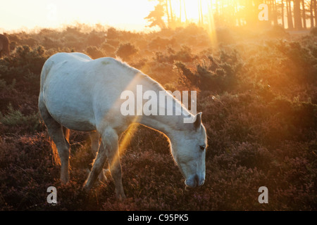 England, Hampshire, New Forest, Ponies and Sunrise - Stock Photo