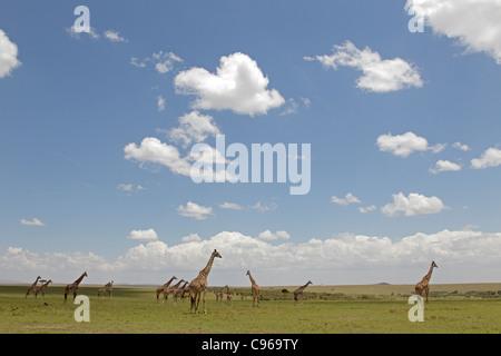Herd of Masai Giraffe on the Masai Mara with blue sky - Stock Photo
