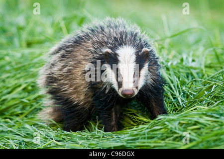 Young badger in hayfield - Stock Photo