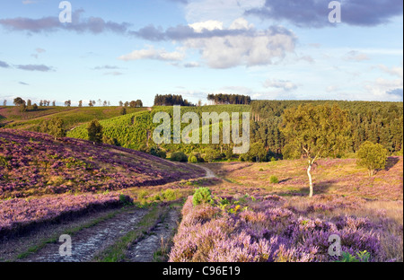 Path through heather on heathland down into Sherbrook Valley in summer Cannock Chase Country Park AONB - Stock Photo