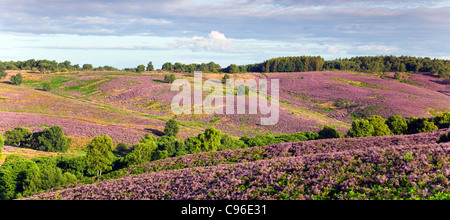 View across heathland banks of heather, hills covered by heather in bloom in summer on Cannock Chase AONB - Stock Photo