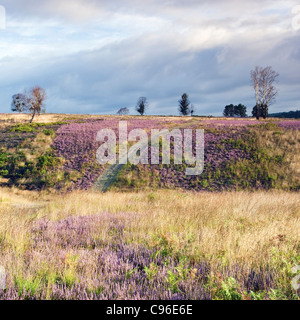 Beautiful light falls on heather in bloom, paths across heathland hills in summer on Cannock Chase Country Park - Stock Photo