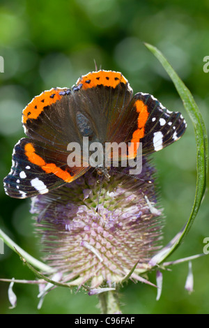 Red Admiral Butterfly; Vanessa atalanta; on teasel; UK - Stock Photo