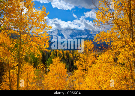 Aspens near Trout Lake, Uncomphagre National Forest, Colorado San Juan Mountains Populus tremuloides - Stock Photo