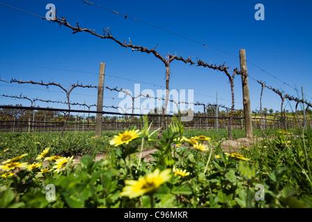 Vineyard in the renowned Barossa Valley wine region, close to Adelaide. Barossa Valley, South Australia, Australia - Stock Photo