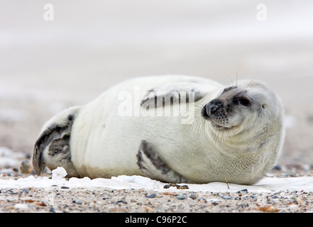Young Gray seal (Halichoerus grypus) - Stock Photo