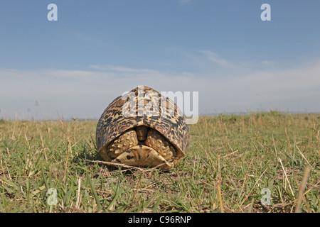 Leopard Tortoise in its shell on the Masai Mara - Stock Photo