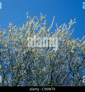 White flowers of blackthorn (Prunus spinosa) against a blue late winter sky - Stock Photo