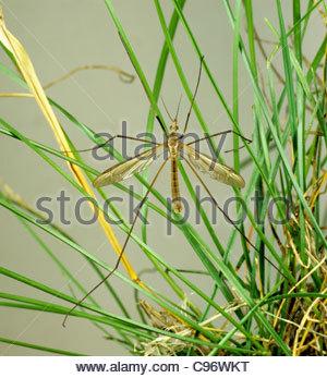 Crane-fly (Tipula oleracea) on grass - Stock Photo