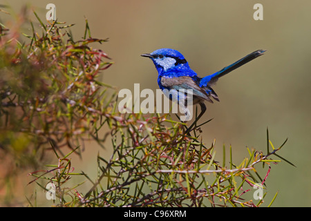 Splendid Fairy-wren perched on a bush. - Stock Photo