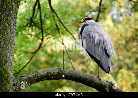 Grey heron, Ardea cinerea sitting on a tree - Stock Photo